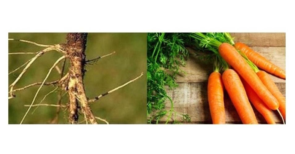 As primeiras cenouras eram provavelmente como as da imagem da esquerda, feita pelo Genetic Literacy Project. À direita, imagem da cenoura de hoje