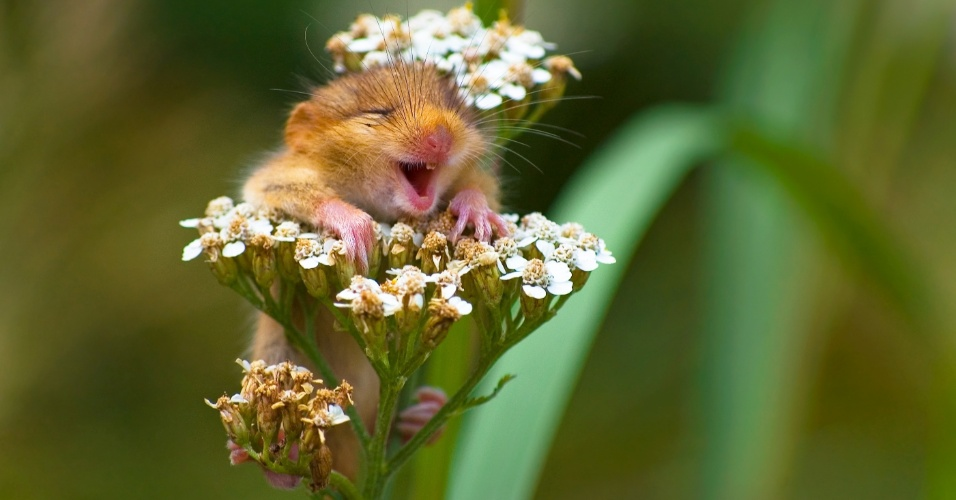 """Arganaz contente - A foto vencedadora na categoria especial """"Terra"""" foi de um arganaz em uma flor na Itália."""