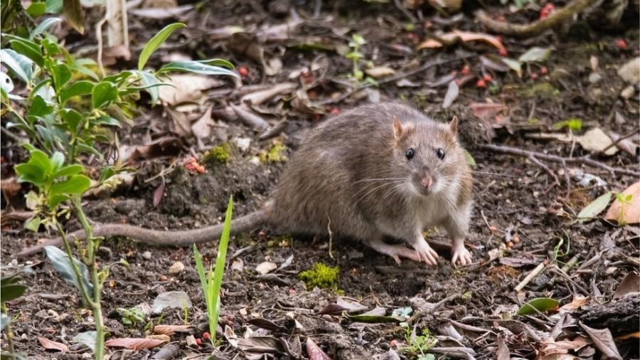 """Segundo alerta lançado na semana passada pelo CDC, roedores, em busca de comida, poderão apresentar """"comportamento incomum ou agressivo"""" - Getty Images"""