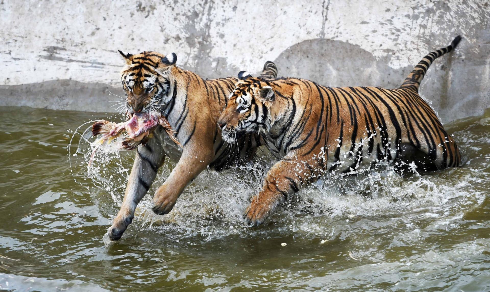 13.jul.2016 - Tigres-siberianos capturam uma galinha no Parque de Tigres-Siberianos, em Hailin, na China. O parque é um dos maiores centros artificiais de criação de tigres e conta com 400 animais da espécie. A cada ano, 50 novos tigres-siberianos nascem no local