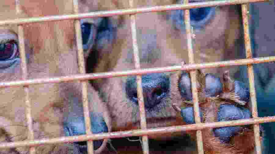 Dois filhotes de cachorros são colocados em uma gaiola - Getty Images