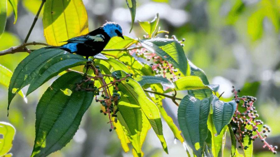 Subespécie da ave saíra-de-cabeça-azul foi descoberta em 1929, mas ainda não existia registro do ajustamento do pássaro, que ocorre na Chapada dos Veadeiros - Divulgação/Marcelo Kuhlman