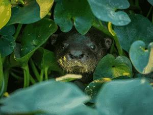 Lontra em um corixo (canais que se formam na cheia do Pantanal) que ainda tem água na região do Pantanal - FERNANDO FACIOLE/GRAD - FERNANDO FACIOLE/GRAD