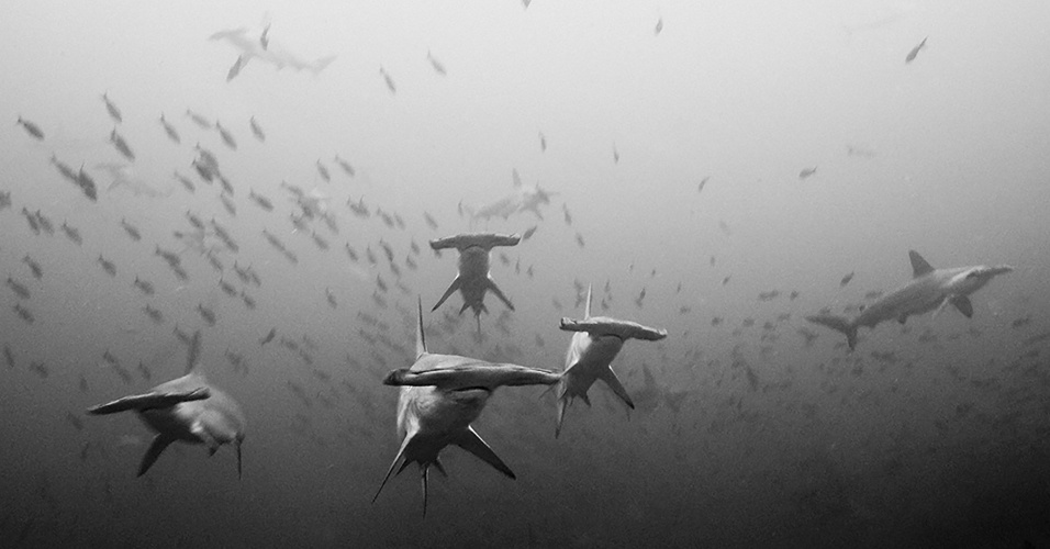 10.ago.2016 - Um cardume de tubarões-martelo na Ilha do Coco, na Costa Rica. Esses tubarões são predadores tropicais, geralmente avistados em grupo em busca de águas mais frias durante o verão.