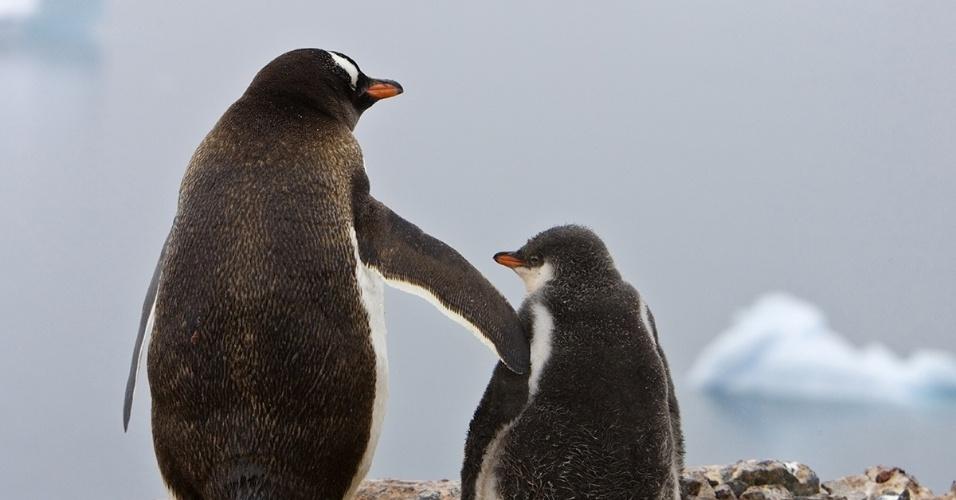 Pinguins-gentoo observam o gelo na Antártida. Esses pinguins, geralmente monogâmicos, se revezam para chocar os ovos. Quando os filhotes nascem, são alimentados pelos pais por um mês