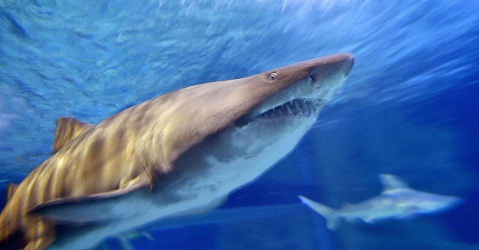 8.dez.2016 - Tubarão touro nada no Oceanarium em Le Croisic, na França