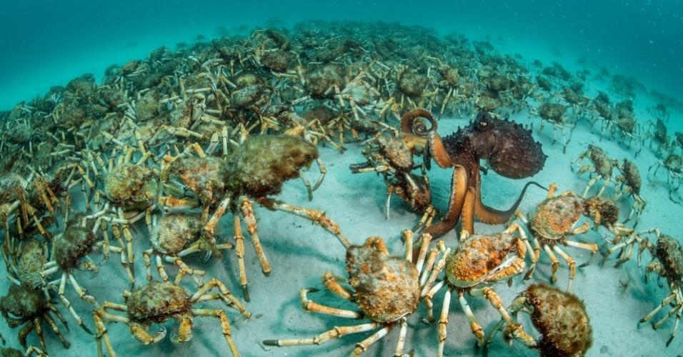 """A foto batizada como """"Surpresa de caranguejo"""" rendeu o prêmio na categoria Invertebrados a Justin Gilligan, da Austrália. Ela mostra um polvo-maori - o maior do tipo no hemisfério sul - escolhendo o que comer em um campo de caranguejos-aranha-gigantes no litoral leste da Tasmânia, na Austrália."""