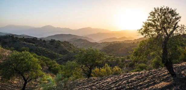 Oliveiras em Alora, na Espanha - Getty Images