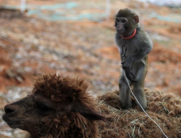 1º.fev.2016 - Macaco é colocado sobre alpaca para turistas tirarem fotos no zoológico de Kunming, na província de Yunnan, na China. No calendário chinês, 2016 é o Ano do Macaco, o que faz a cena ser simbólica