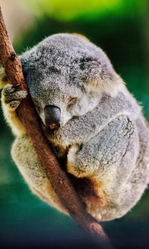 28.mar.2016 - Um coala dorme num tronco em Sidney, na Austrália. Os marsupiais são majoritariamente noturnos, podendo dormir até 20 horas por dia