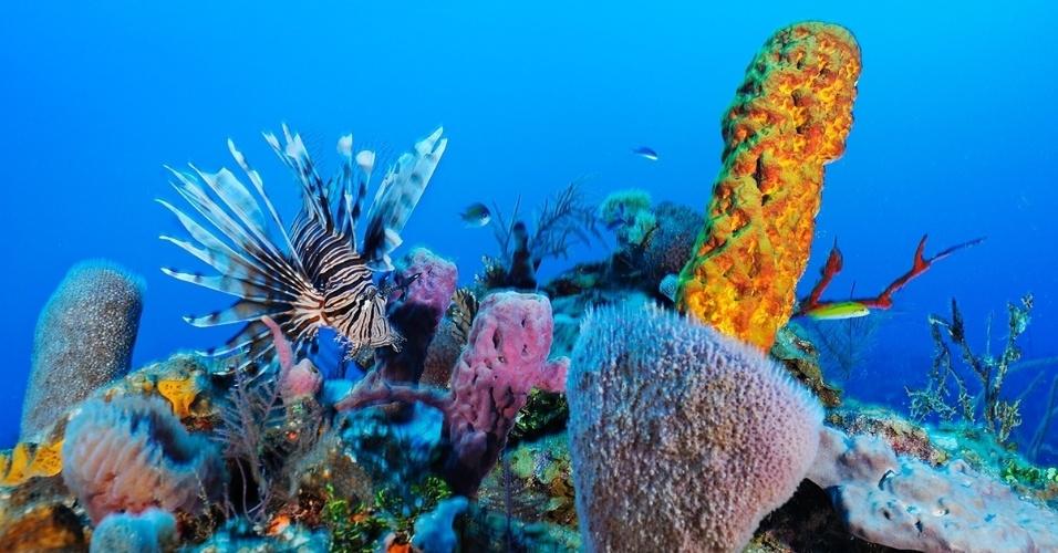 6.abr.2016 - Novo peixe na área. Um peixe-leão nada perto de um coral no atol de Turneffe, Belize. Esta é uma espécie invasora no Oceano Atlântico e no Mar do Caribe, e causa estrago nessas áreas