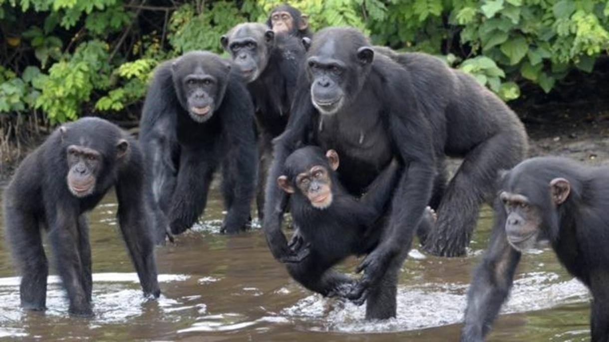 Os chimpanzés foram abandonados com poucas chances de se alimentarem sozinhos