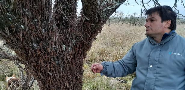 Nuvem de gafanhotos é encontrada em propriedade rural na Argentina – UOL