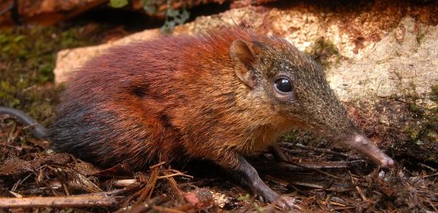 Musaranho, pequeno mamífero parecido com ratos