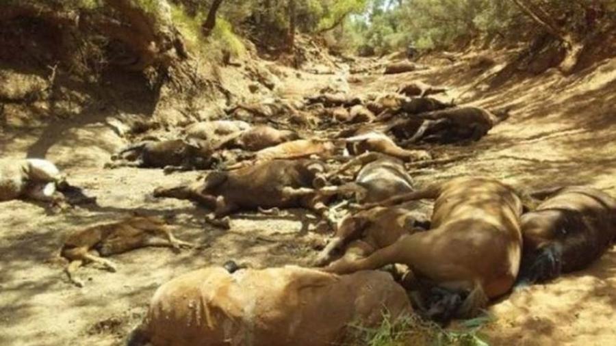 Cerca de 40 animais já haviam morrido de desidratação e fome; outros foram encontrados agonizando e acabaram abatidos - Ralph Turner/BBC