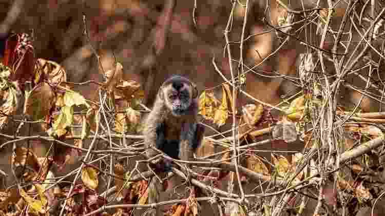 Em intensa busca por alimento, macaco-prego não encontrou comida em margem de rio - GUSTAVO FIGUEIRÔA/SOS PANTANAL - GUSTAVO FIGUEIRÔA/SOS PANTANAL