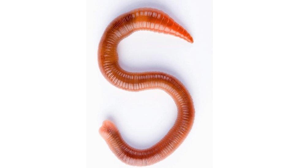 Algumas espécies de minhocas chegam a medir 2 metros de comprimento