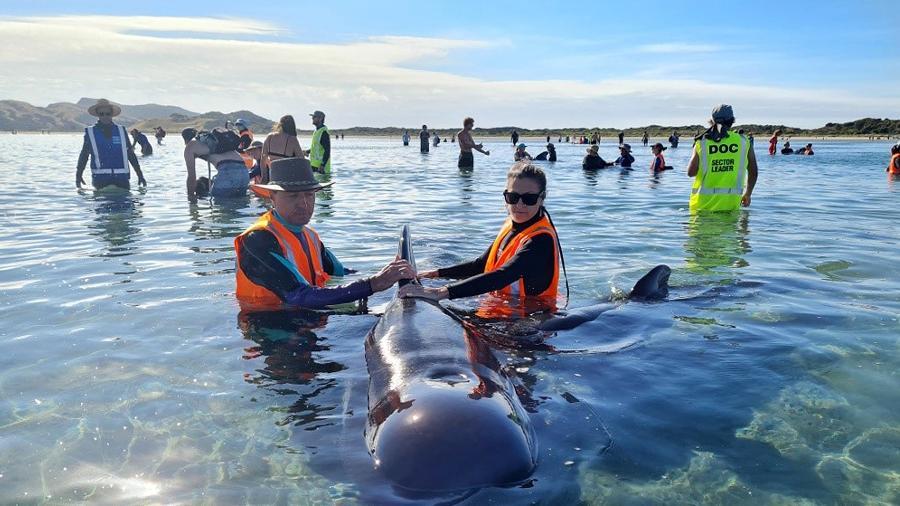 22.fev.2021 - Equipes de resgate se mobilizam para salvar dezenas de baleias-piloto que encalharam em um trecho da costa da Nova Zelândia, em Farewell Spit - AFP Photo/Project Jonah