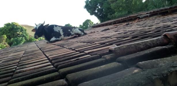 Boi 'passeia' em telhado e fica entalado no interior de Minas Gerais