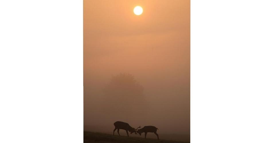 """A vencedora na categoria """"Mamíferos em Nossas Paisagens"""" foi esta imagem de veados travando uma disputa em Ashton Court, em Bristol, na Inglaterra, feita por Mark Eastment"""