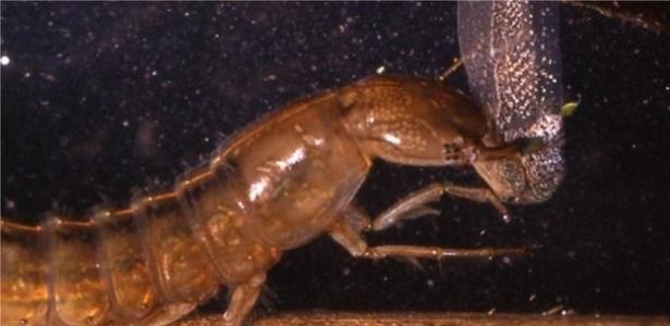 9.abr.2017 - Um besouro d'água (Dytiscus sp.) ataca um girino