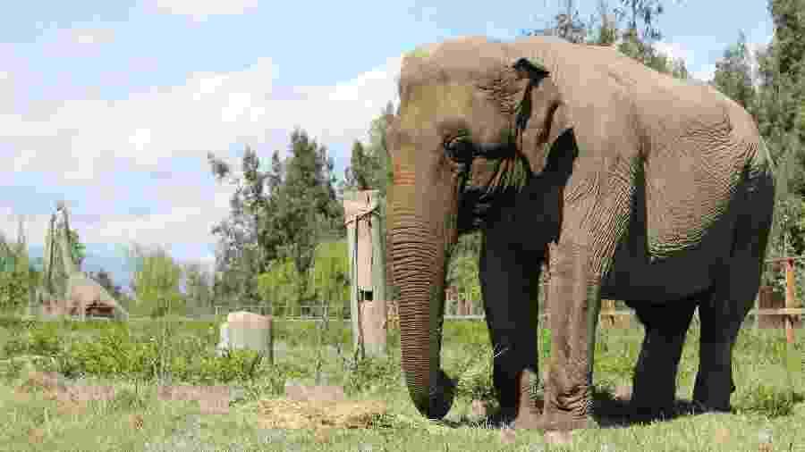 A elefanta Ramba em parque no Chile - Santuário de Elefantes Brasil