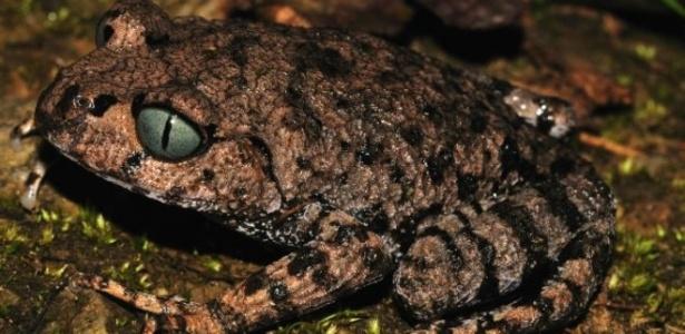 A rã 'Leptobrachium Bompu' tem olhos azuis com pupila vertical, semelhantes aos de gatos