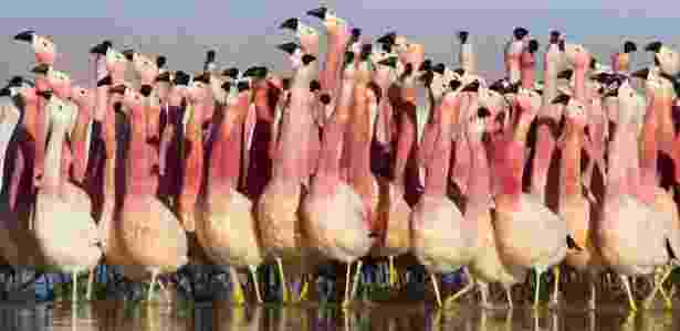 Flamingo - BBC - BBC
