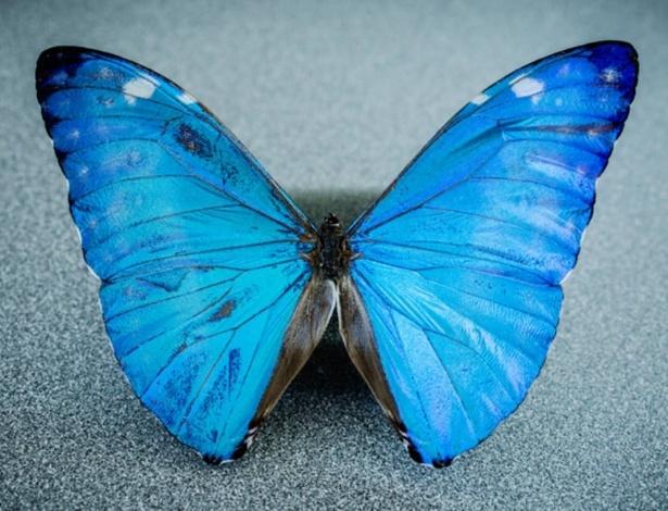 Os olhos das borboletas do gênero Morpho (foto) foram a inspiração para a câmera cirúrgica que é capaz de captar não apenas a luz visível, mas também os sinais infravermelhos emitidos pelos marcadores cirúrgicos fluorescentes; recurso permite cirurgias mais precisas e rápidas