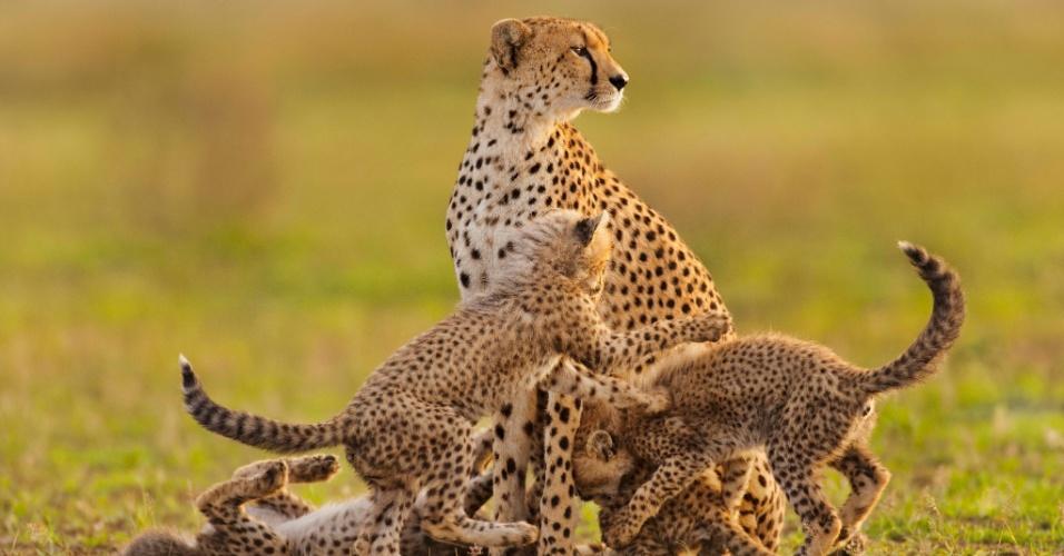 Guepardos estão entre os animais com queda representativa da população