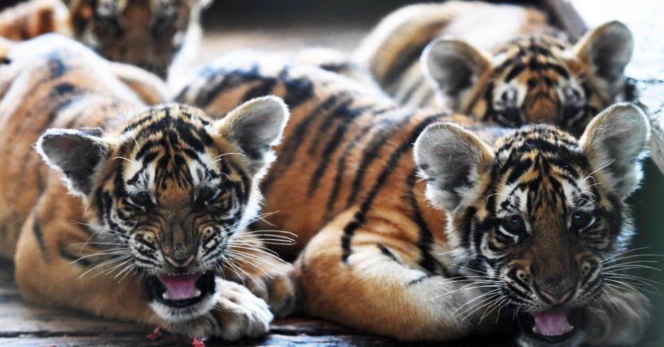 22.set.2016 - Filhotes de tigres siberianos permanecem no Centro de Criação Felina Hengdaohezi em Harbin, na China