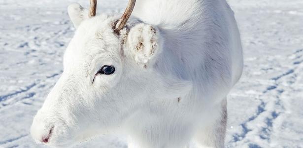Fotógrafo da Noruega compartilhou imagens de um filhote raro de rena branca, que encontrou enquanto fazia uma trilha
