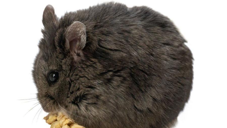 O simpático roedor demonstrou ser um excelente investidor - Reprodução/Goxx Capital