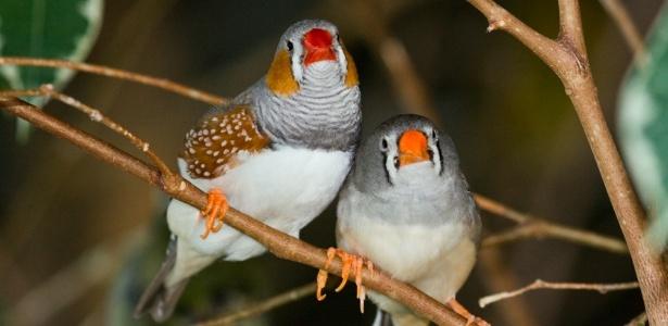 Pássaro diamante-mandarim