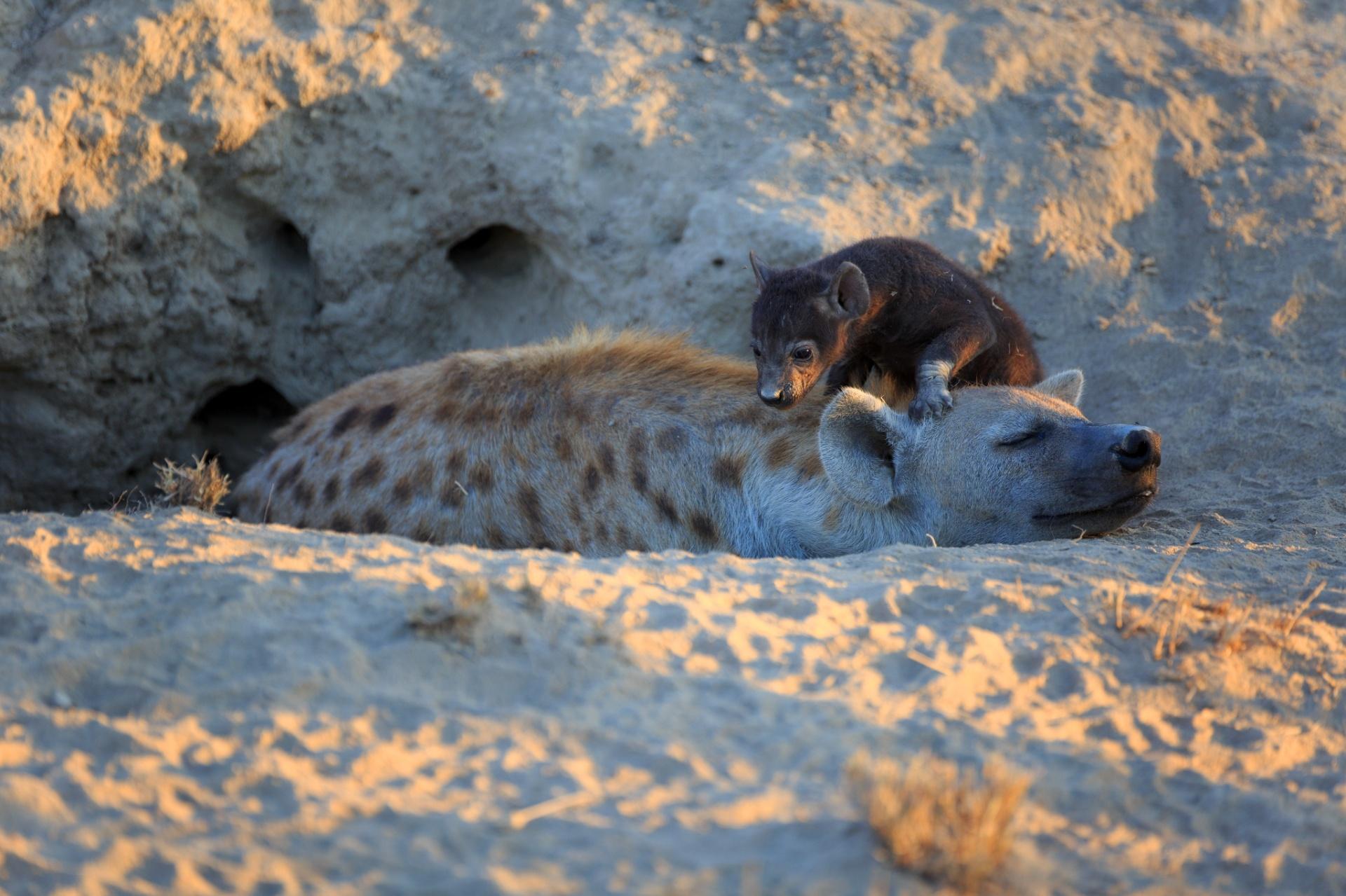 5.abr.2017 - Hiena malhada com seu filhote