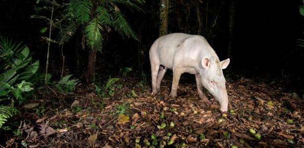 Funcionário do Grupo Votorantim flagra uma anta albina reserva ambiental Legado das Águas, na região de Sorocaba (SP)