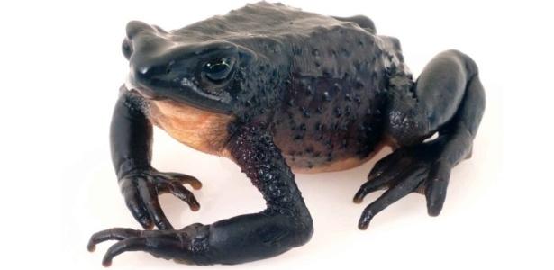 Espécie rara de sapo, o Atelopus ignescens foi salvo da extinção por um garoto