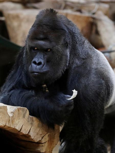 Richard, um gorila do zoológico de Praga, na República Tcheca (Tchéquia), come vegerais após ser diagnosticado com o novo coronavírus - David W Cerny/Reuters