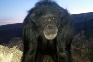 Animal de estimação   Chimpanzé ataca mulher e é morto a tiros nos Estados Unidos