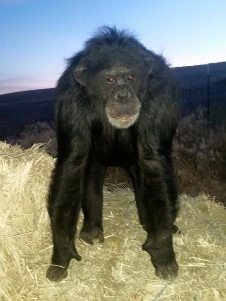 Imagem de Buck, o chimpanzé de estimação de Tamara Brogoitti - Divulgação/Buck Brogoitti Animal Rescue INC