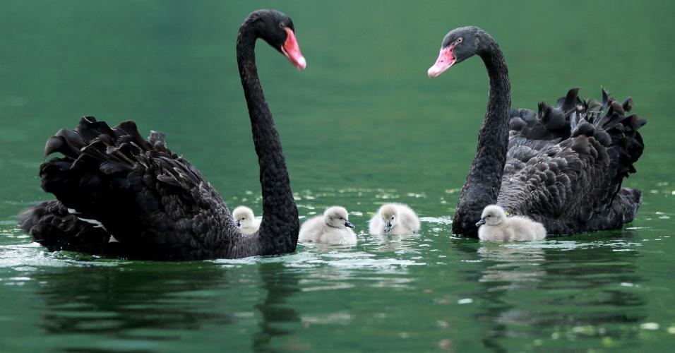 9.set.2016 - Casal de cisnes negros acompanham seus filhotes no lago Baofeng, província de Hunan, na China