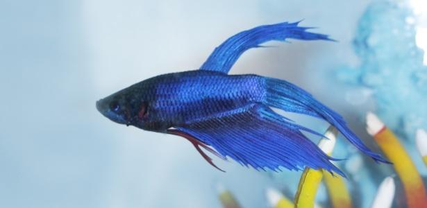 Garoto tinha um peixe beta