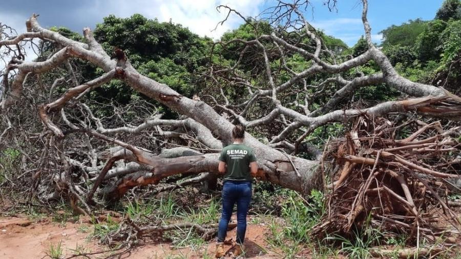 """Fiscal examina área de Cerrado em Minas Gerais desmatada em 2020 por método do """"correntão"""", em que corrente arrastada por tratores arranca árvores pelas raízes - SEMAD/MG"""