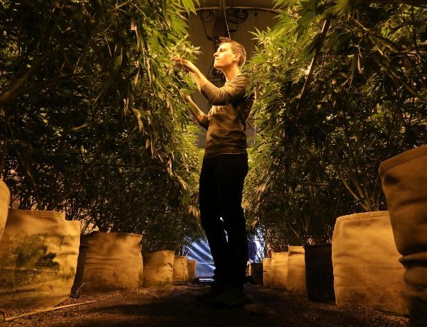 Josh Malgieri, vice-presidente da Sonoma Cannabis Company, checa o crescimento das plantas de maconha em Santa Rosa, na Califórnia