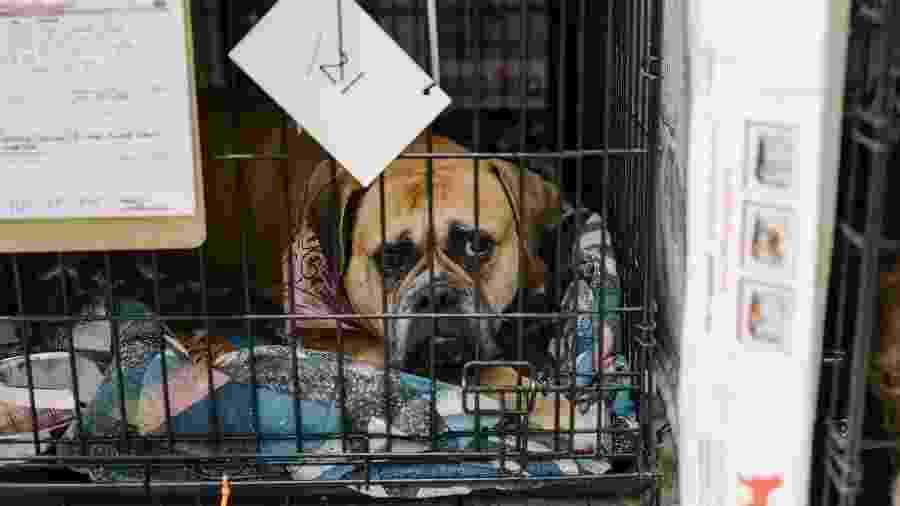 Cachorro no Aeroporto Municipal de Chico, onde grupos ajudaram a resgatar animais de estimação perdidos em incêndio tentaram reuni-los com seus donos, em Chico, Califórnia - Jason Henry/The New York Times