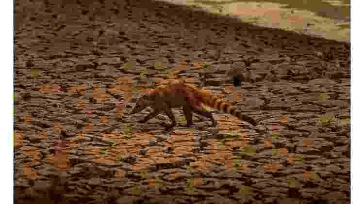 Quati busca por comida em meio ao cenário de seca no Pantanal - Frico Guimarães/Documenta Pantanal - Frico Guimarães/Documenta Pantanal