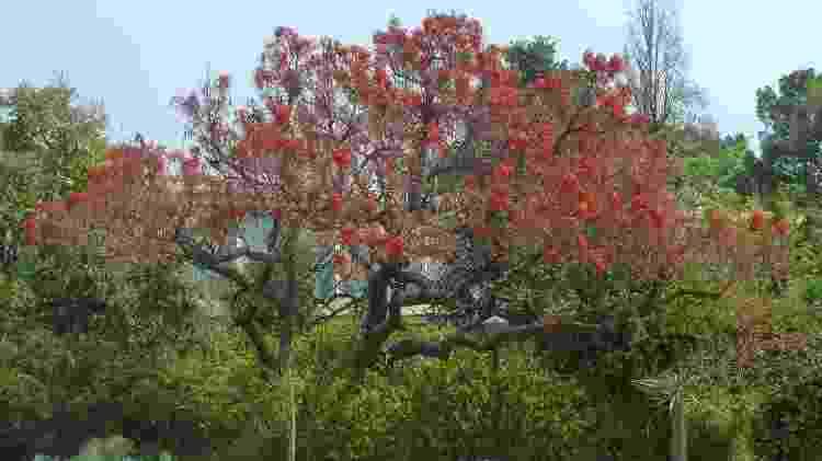 O composto é extraído da Corticeira, uma árvore ornamental também conhecida como Eritrina e Suinã - Wikimedia/Commons