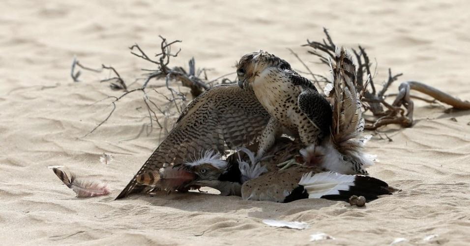 Um falcão abocanha pega um bustard Houbara na reserva de caça Al-Marzoom, a 150 quilômetros a oeste de Abu Dhabi, nos Emirados Árabes Unidos em 2 de fevereiro de 2016. / AFP / KARIM SAHIB