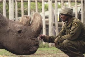 Morre no Quênia último rinoceronte branco do norte macho; restam duas fêmeas no mundo (Foto: OI Pejeta/Divulgação)