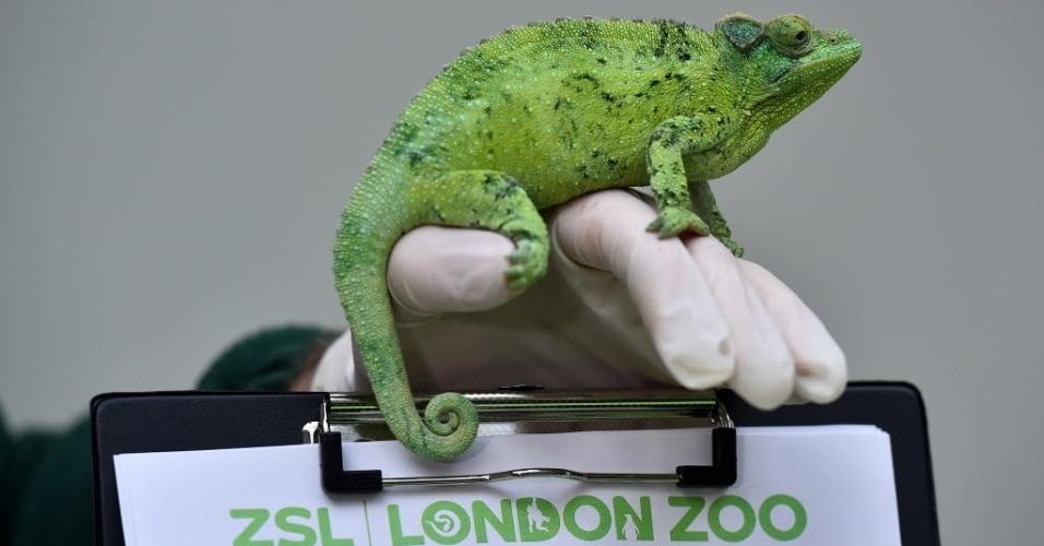 4.jan.2016 - Tratador do zoológico de Londres, na Inglaterra, posa com um camaleão durante a contagem anual de animais